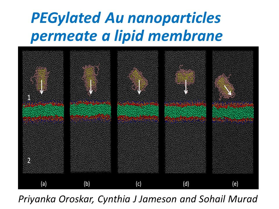 Pegylated Au NPs at model membrane